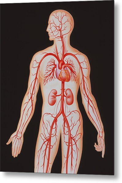 Human Arterial System Metal Print by John Bavosi