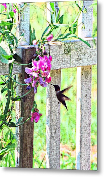 Humming Bird And Sweet Pea Metal Print