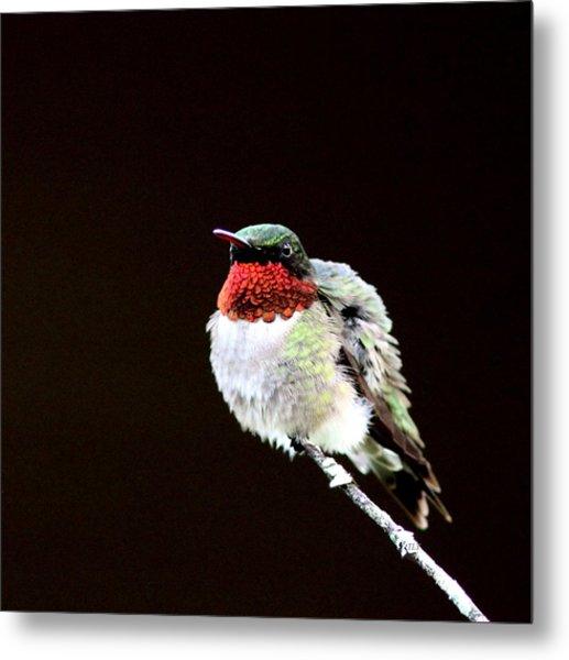 Hummingbird - Ruffled Feathers Metal Print
