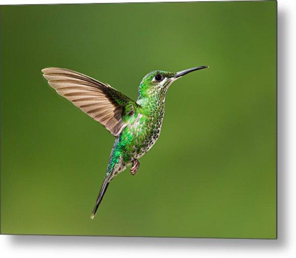 Hummingbird In Flight Metal Print by Hali Sowle