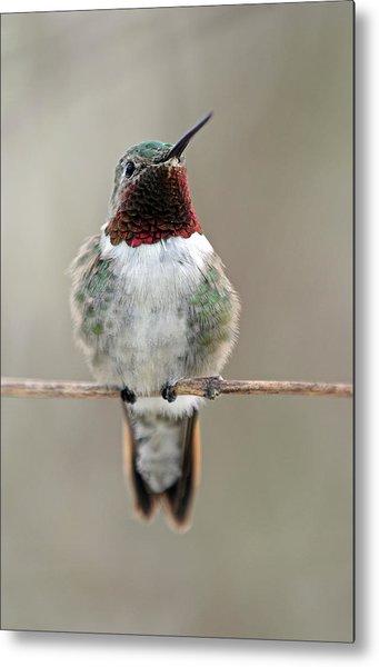 Hummingbird Metal Print by Juergen Roth