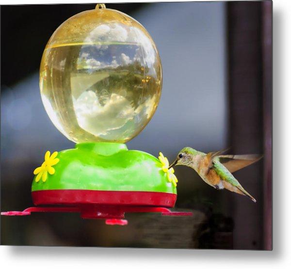 Hungry Hummingbird Metal Print by Sandra Welpman