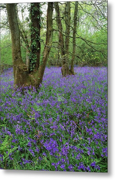 Hyacinthoides Nonscriptus. Metal Print by Bob Gibbons