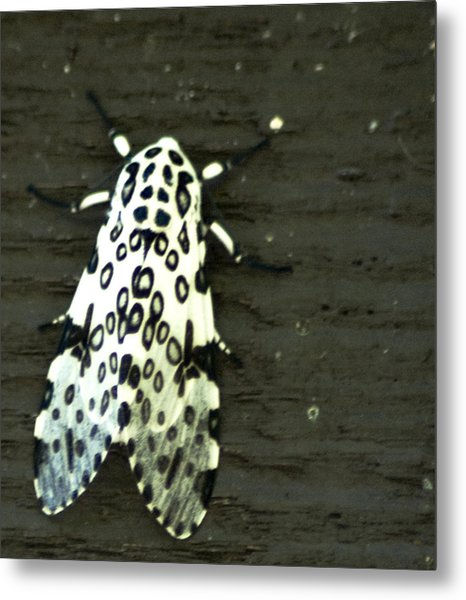 Metal Print featuring the photograph Hypercompe Scribonia  Great Leopard Moth by Wade Clark
