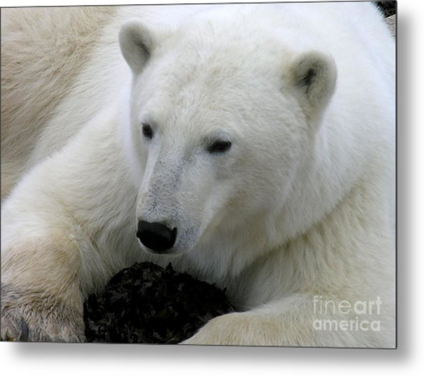 Ice Bear Metal Print