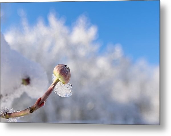 Iced Dogwood Metal Print