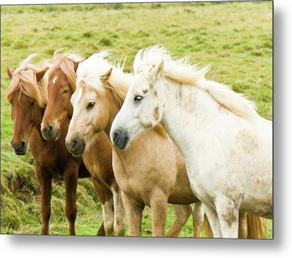Iceland Ponies Metal Print by David Blaikie