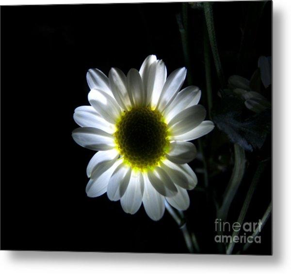 Illuminated Daisy Photograph Metal Print