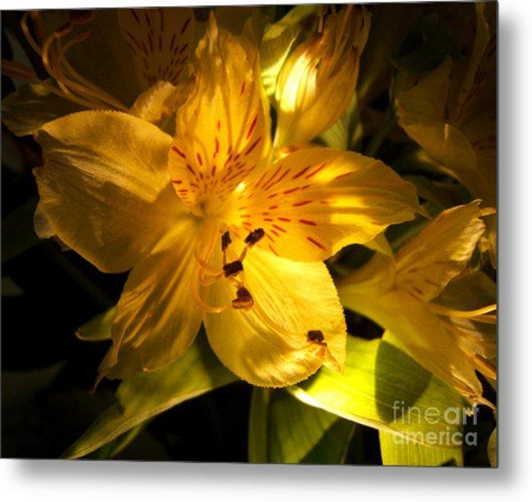 Illuminated Yellow Alstromeria Photograph Metal Print