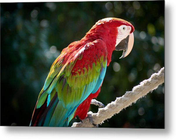 In All His Finery Metal Print