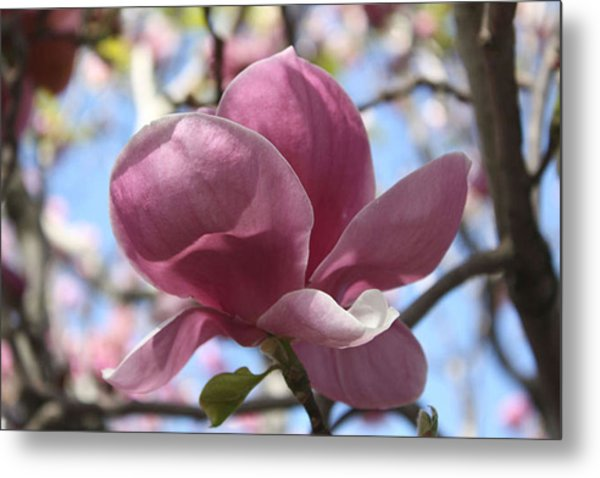 In Full Bloom Nb Metal Print