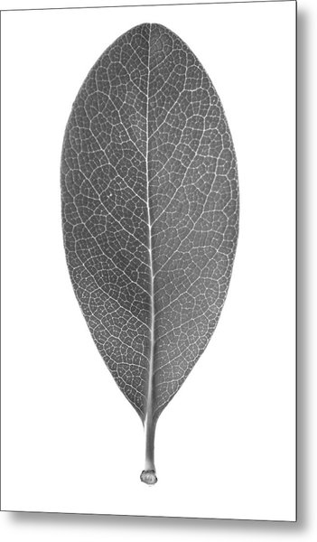 Indian Hawthorn Leaf Metal Print
