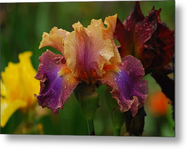 Irises In Indiana Metal Print