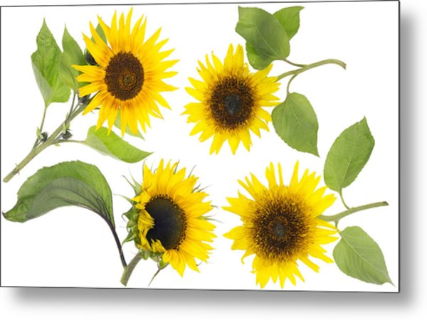 isolated real mini sunflowers set photograph by aleksandr volkov