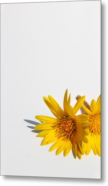 Isolated Yellow Chrysanthemum Flower Metal Print by Gal Ashkenazi