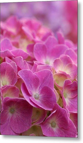 Japan, Kanagawa Prefecture, Sagamihara City, Close-up Of Pink Flowers Metal Print by Imagewerks