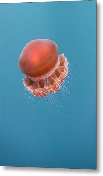 Jelly Fish Metal Print by Scott Portelli