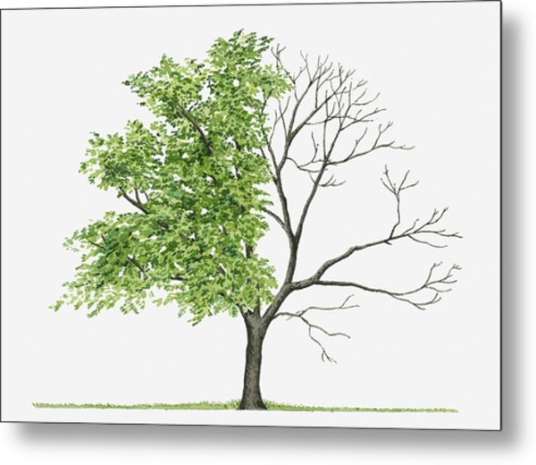 Juglans Cinerea (butternut): Illustration Showing Shape Of Deciduous Juglans Cinerea (butternut) Tree With Green Summer Foliage And Bare Winter Branches Metal Print by Liz Pepperell