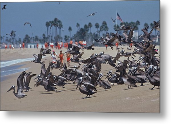 Junior Lifeguards And Pelicans Metal Print