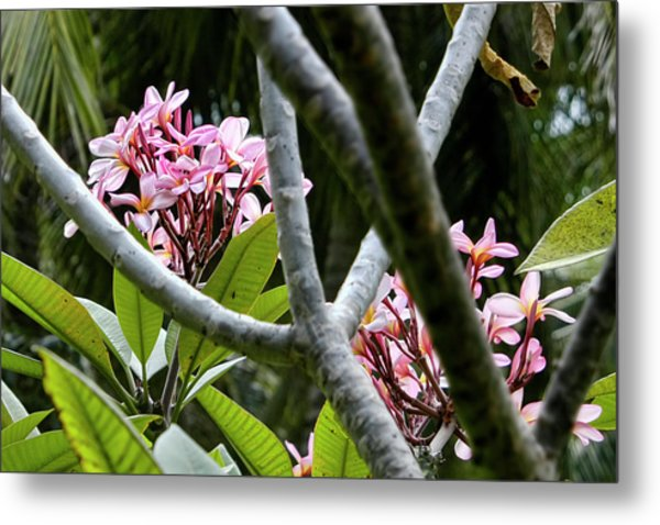 Kalachuchi Flowers Metal Print by Andre Salvador