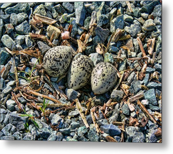 Killdeer Bird Eggs Metal Print