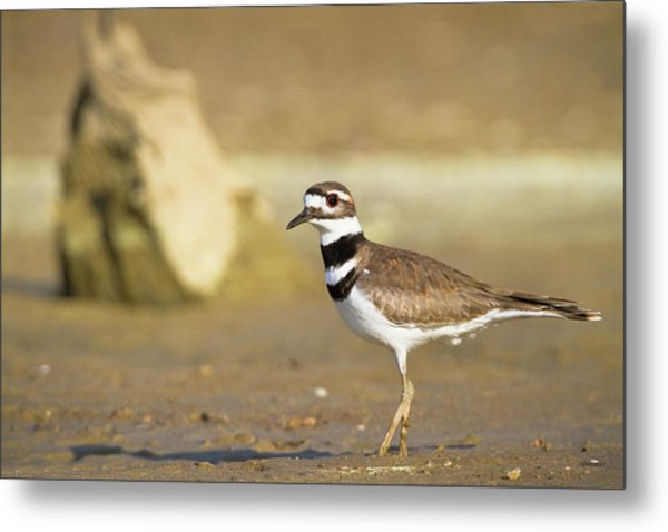 Killdeer On The Shore Metal Print