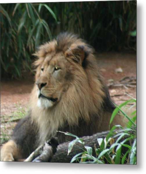 King Of The Pride Metal Print by Debi York