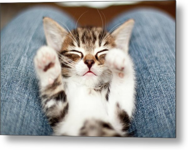 Kitten On Lap Metal Print