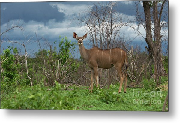Kudu Female Posing Metal Print