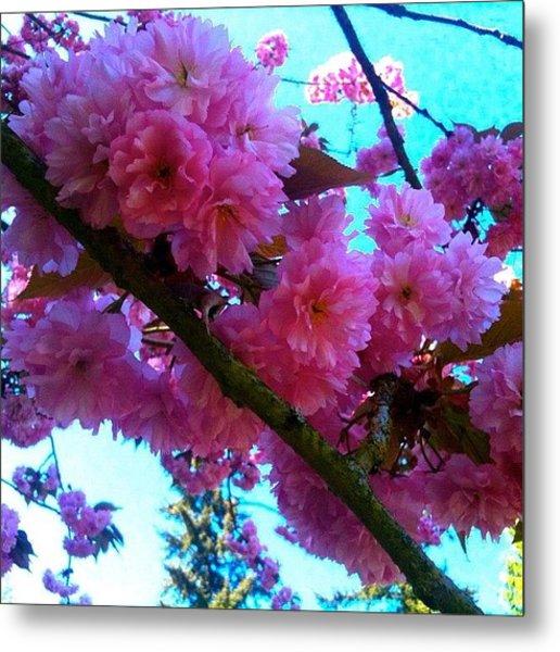 Laden Pink Flowering Dogwood Metal Print