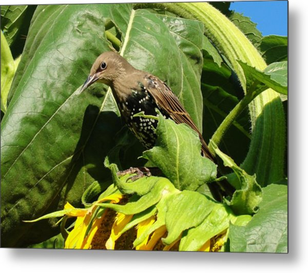 Ladybird Starling On A Sunflower Metal Print by Katie Bauer