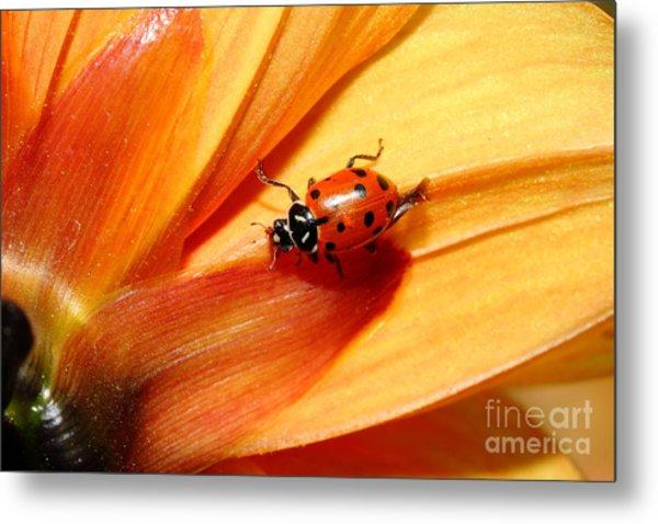Ladybug On Orange Yellow Dahlia . 7d14686 Metal Print by Wingsdomain Art and Photography