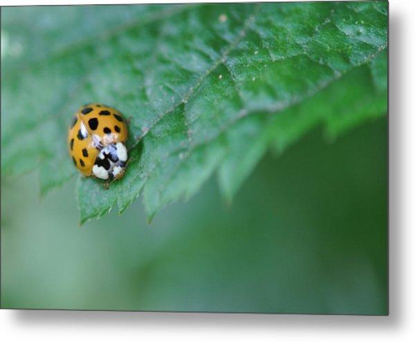 Ladybug Posing On Astilbe Leaf Metal Print