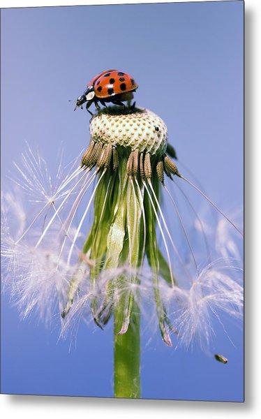 Ladybugs Dandelion Metal Print by Falko Follert