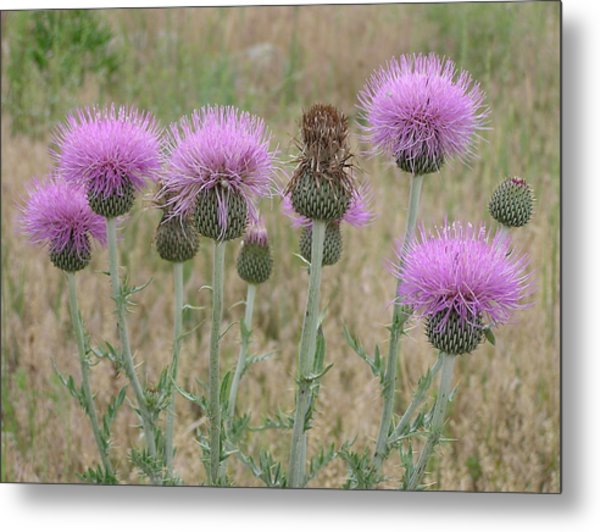 Lavendar Thistles In Bloom Metal Print