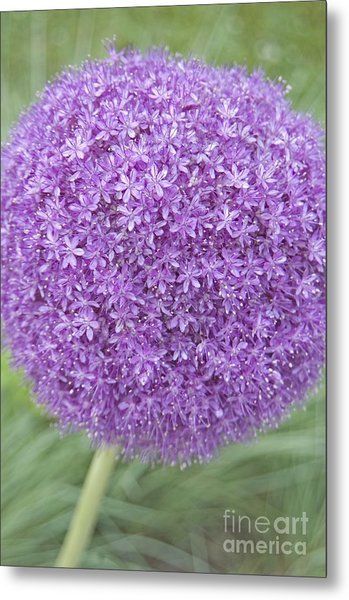 Lavender Ball Metal Print