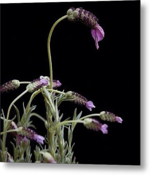 #lavender #plant #purple #perennial Metal Print