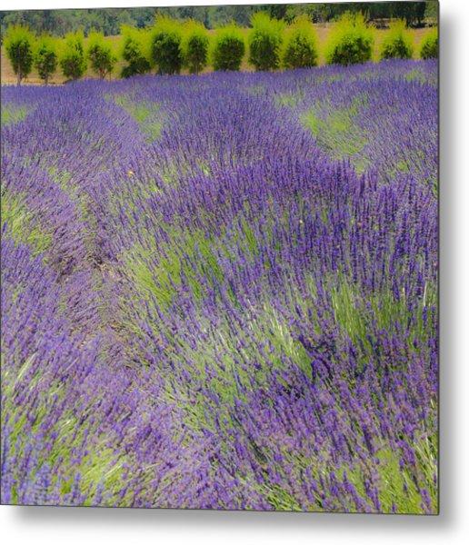 Lavender3 Metal Print