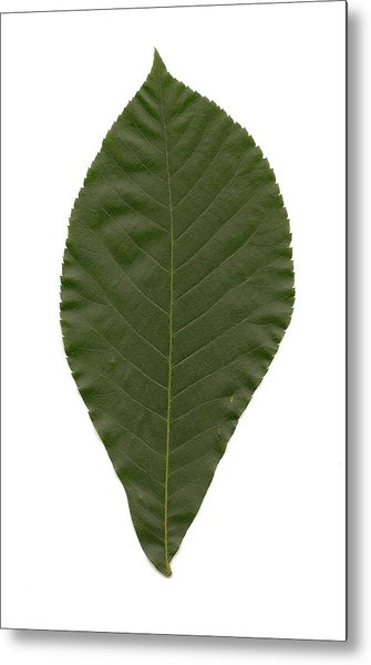 Leaf Of Mockernut Hickory Metal Print by Mary Ann Southern