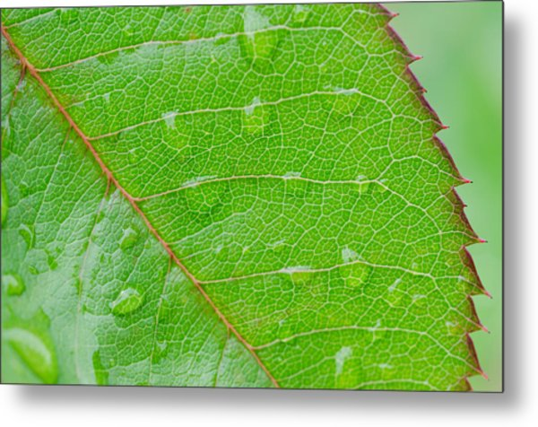 Leaf Of The Rose Metal Print by Margaret Pitcher