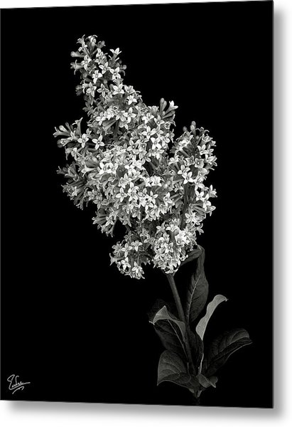 Lilac In Black And White Metal Print
