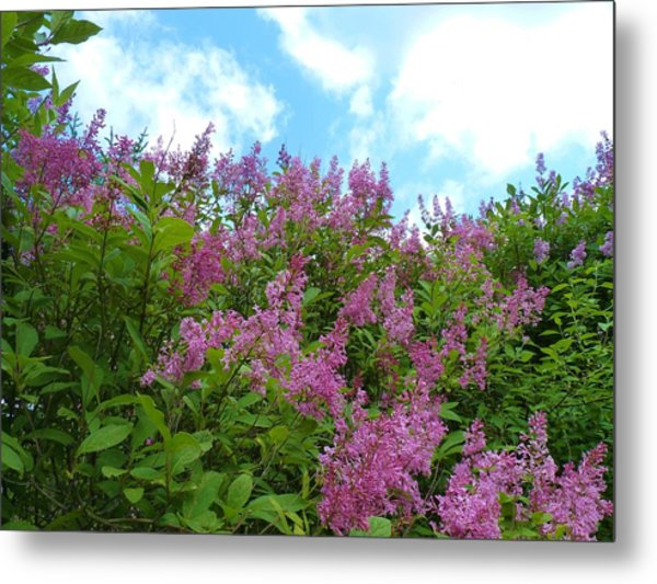 Lilacs In Rochester Ny Metal Print by Jeanette Oberholtzer