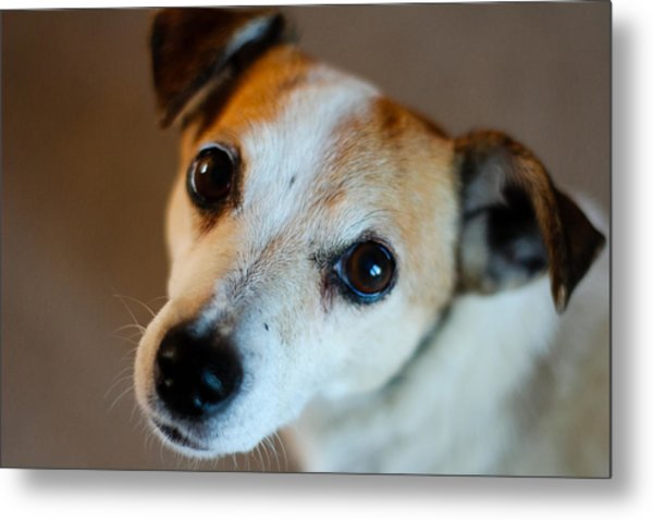 Lilly - The Jack Russell Metal Print by Callum Mcleod