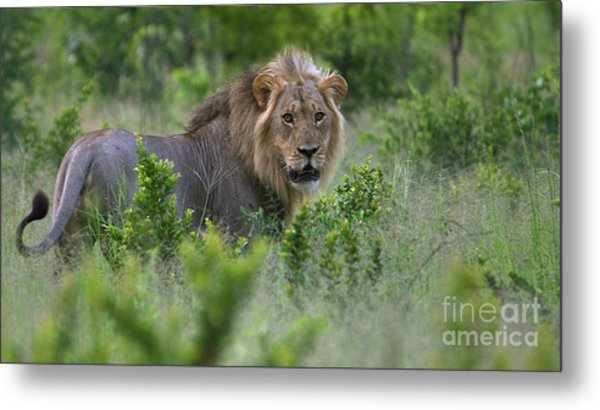 Lion On Patrol Metal Print