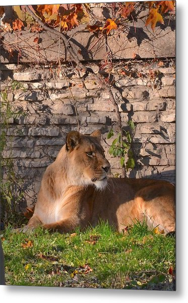 lion Territory Metal Print