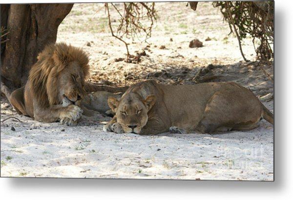 Lions Sleep Metal Print