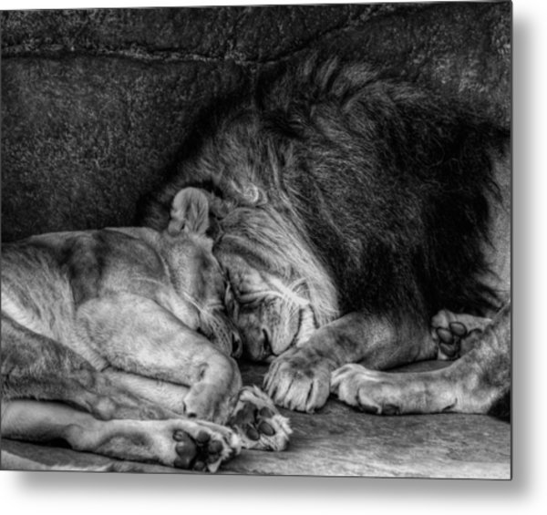 Lions Sleep Tonight Metal Print