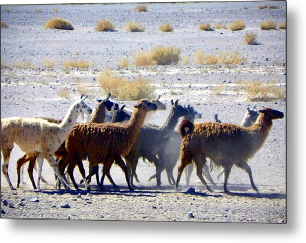 Llamas  Atacama Desert Metal Print