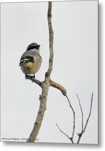Metal Print featuring the photograph Loggerhead Shrike In A Bare Tree by Grace Dillon