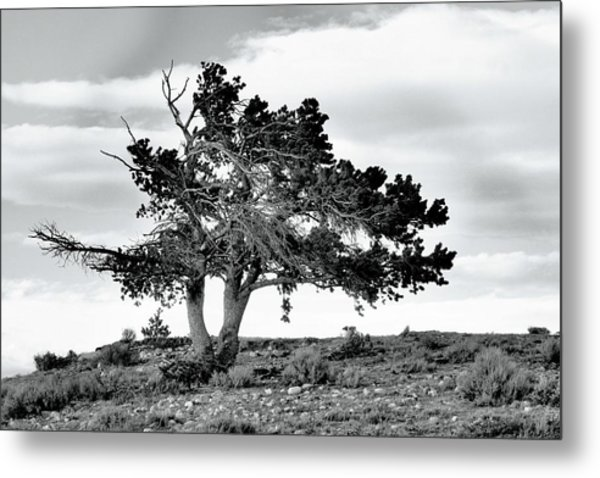 Lone Pine Tree Metal Print